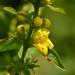 Dasistoma macrophylla - Photo (c) Mark Kluge, algunos derechos reservados (CC BY-NC-ND)