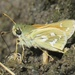 Western Branded Skipper - Photo (c) Liam O'Brien, some rights reserved (CC BY-NC)