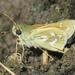 Hesperia colorado - Photo (c) Liam O'Brien, algunos derechos reservados (CC BY-NC)