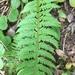 Polystichum × illyricum - Photo (c) Françoise Alsaker,  זכויות יוצרים חלקיות (CC BY-NC)