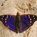 Doxocopa agathina - Photo Adrian198cm, ei tunnettuja tekijänoikeusrajoituksia (Tekijänoikeudeton)