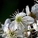 Rubus cissoides - Photo (c) Tony Foster, algunos derechos reservados (CC BY-ND)