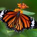 Mariposa Tigre - Photo (c) Tarique Sani, algunos derechos reservados (CC BY-NC-SA)