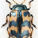 Chrysomela lapponica - Photo (c) Biological Museum, Lund University:  Entomology, some rights reserved (CC BY-NC)