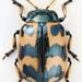 Chrysomela lapponica - Photo (c) Biological Museum, Lund University:  Entomology, algunos derechos reservados (CC BY-NC)