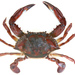 Swimming Crabs - Photo (c) Thomas, some rights reserved (CC BY-NC)