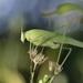 Phaneroptera nana - Photo (c) Nicolas Zwahlen, algunos derechos reservados (CC BY-NC-SA)