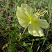 Stemless Evening Primrose - Photo (c) Gravitywave, some rights reserved (CC BY-NC-SA)