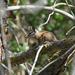 Neotamias - Photo (c) Greg Schechter, algunos derechos reservados (CC BY)