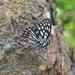 Hestina assimilis formosana - Photo (c) Tong-Li Li, some rights reserved (CC BY-NC-ND)