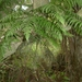 Thread Fern - Photo (c) Leon Perrie, some rights reserved (CC BY-NC)