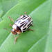 Parthenium Beetle - Photo (c) Subhajit Roy, some rights reserved (CC BY-NC-ND)