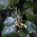 Piper excelsum excelsum - Photo no hay derechos reservados