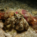 Hermit Crab Anemone - Photo (c) Patrick Randall, some rights reserved (CC BY-NC-SA)