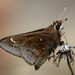 Atrytonopsis hianna - Photo (c) cotinis, μερικά δικαιώματα διατηρούνται (CC BY-NC-SA)