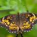 Harris's Checkerspot - Photo (c) Kent McFarland, some rights reserved (CC BY-NC)