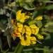 Xiphotheca reflexa - Photo (c) melda, algunos derechos reservados (CC BY-NC)