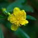 Hypericum prolificum - Photo (c) Tom Potterfield, algunos derechos reservados (CC BY-NC-SA)