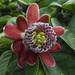 Flor de la Pasión de Alas - Photo (c) Laura Rojas, algunos derechos reservados (CC BY-NC-ND)