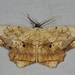 Chorodna pallidularia - Photo (c) dhfischer, osa oikeuksista pidätetään (CC BY-NC)