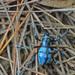 Metapocyrtus lindabonus - Photo (c) hdmiller, algunos derechos reservados (CC BY-NC)