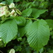 Wych Elm - Photo (c) pluralzed, some rights reserved (CC BY-NC-SA)