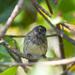 Pinzón de Darwin Manglero - Photo (c) greglasley, algunos derechos reservados (CC BY-NC), uploaded by Greg Lasley