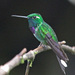 Colibrí Puntablanca Occidental - Photo (c) Jerry Oldenettel, algunos derechos reservados (CC BY-NC-SA)
