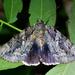 Catocala agrippina - Photo (c) Todd Fitzgerald, algunos derechos reservados (CC BY-NC)