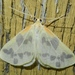 Beggar Moth - Photo (c) Jonathan Carpenter, some rights reserved (CC BY-NC), uploaded by Jonathan (JC) Carpenter