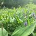Pontederia cordata - Photo (c) theo_witsell, μερικά δικαιώματα διατηρούνται (CC BY-NC)