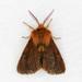 Spilosoma pteridis - Photo (c) Jim Johnson, algunos derechos reservados (CC BY-NC-ND)