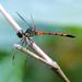 Agrionoptera insignis allogenes - Photo (c) Graham Winterflood, osa oikeuksista pidätetään (CC BY-SA)