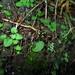 Cyrtostylis rotundifolia - Photo (c) Sarah Richardson, algunos derechos reservados (CC BY-NC)