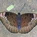 Euthalia monina - Photo (c) Vijay Anand Ismavel, algunos derechos reservados (CC BY-NC-SA), uploaded by Dr. Vijay Anand Ismavel MS MCh