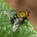 Blepharella - Photo (c) william van Niekerk, μερικά δικαιώματα διατηρούνται (CC BY-NC)