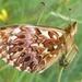 Boloria titania - Photo (c) dirkmaes, alguns direitos reservados (CC BY-NC)