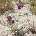 Coachella Valley Milkvetch - Photo (c) Pacific Southwest Region USFWS, some rights reserved (CC BY)