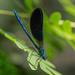 Calopteryx - Photo (c) raedwulf68, algunos derechos reservados (CC BY-NC)