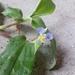 Commelina suffruticosa - Photo (c) Daniel J. Layton, alguns direitos reservados (CC BY-NC-SA)