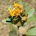 Yellowheads - Photo (c) Solofo Eric Rakotoarisoa, some rights reserved (CC BY-NC)