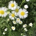 Daisy Fleabane - Photo (c) Michelle Martin, some rights reserved (CC BY-NC)