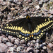 Short-tailed Swallowtail - Photo (c) Cory Gregory, some rights reserved (CC BY-NC)