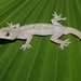 Geco Casero Tropical - Photo (c) Will Flaxington, algunos derechos reservados (CC BY-NC)