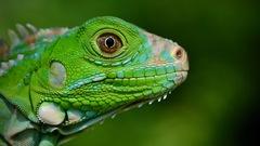 Iguana Verde - Photo (c) Janson Jones, algunos derechos reservados (CC BY-NC)