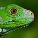 Iguana iguana - Photo (c) Janson Jones, osa oikeuksista pidätetään (CC BY-NC)