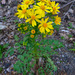 Butterweed - Photo (c) Wendell Smith, some rights reserved (CC BY)