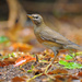 Eyebrowed Thrush - Photo (c) Robert tdc, some rights reserved (CC BY-SA)
