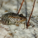 Gopher Frog - Photo (c) Peter and Kim, some rights reserved (CC BY-NC)