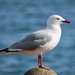 Red-billed Gull - Photo (c) Sid Mosdell, some rights reserved (CC BY)
